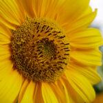 Sonnenblume Nahaufnahme